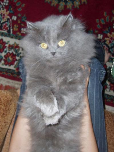 Кот персидский дымчатый